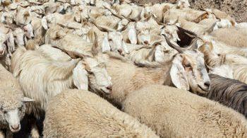 Herd of Pashmina sheep and goats in Himalayas. Himachal Pradesh, India